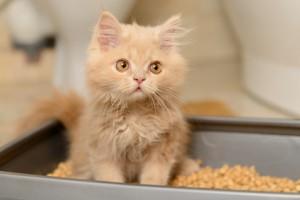 fluffy Persian kitten
